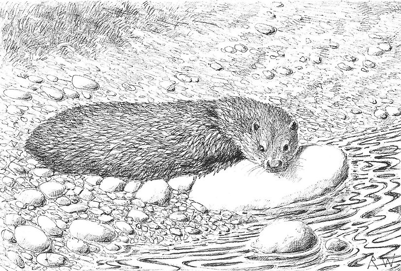 Relaxing Otter Drawing by Wildlife Artist Richard Whittlestone