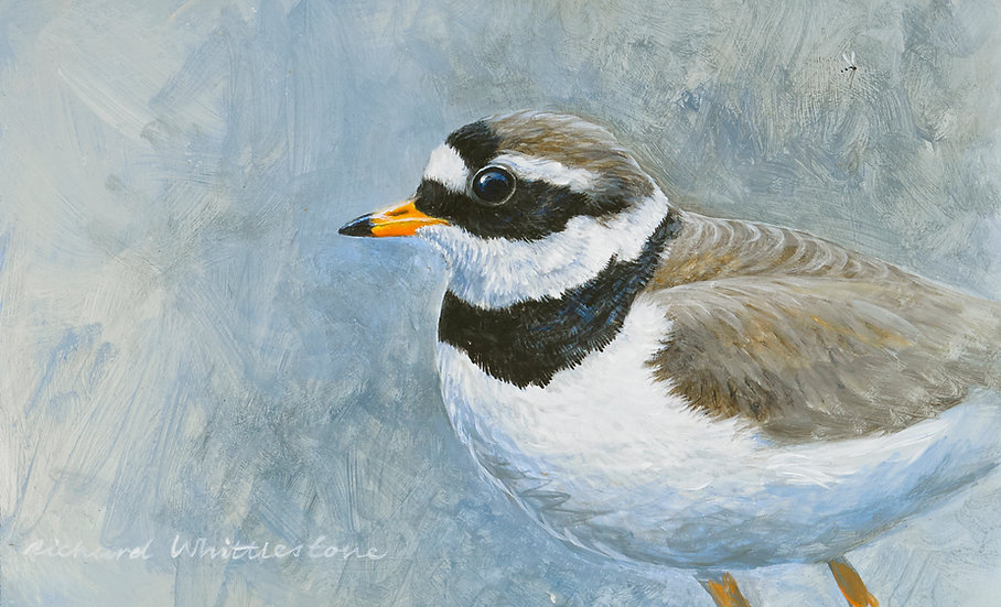 Portrait of a Ringed Plover
