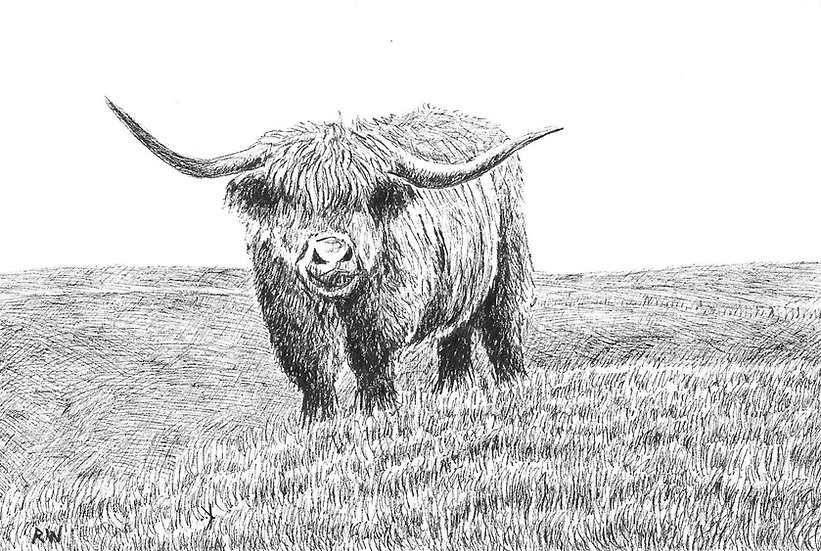 Highland Cow Drawing by Wildlife Artist Richard Whittlestone