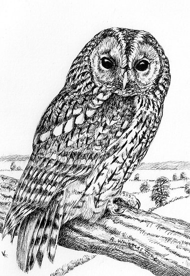 Tawny Owl Drawing by Wildlife Artist Richard Whittlestone