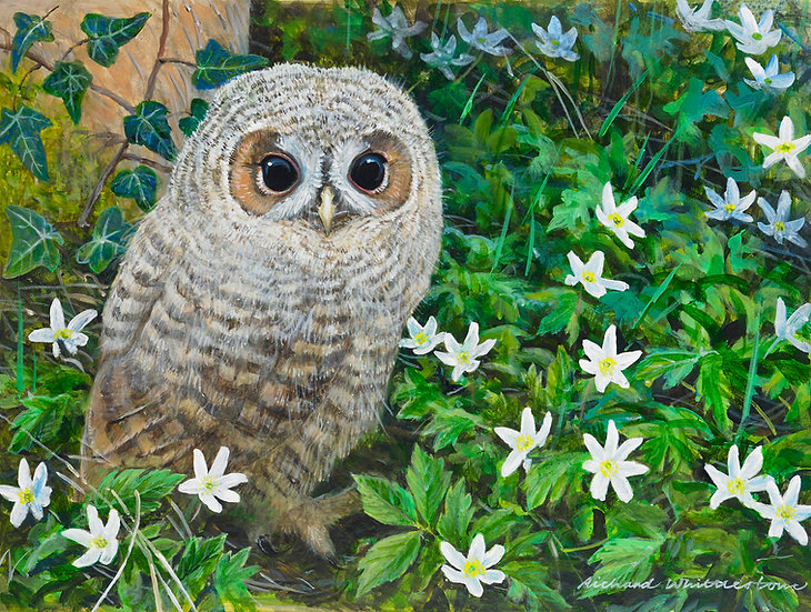 Young Tawny Owl and Wood Anemone