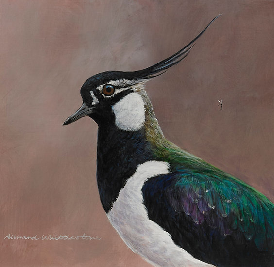 Lapwing Portrait Bird Print by Wildlife Artist Richard Whittlestone