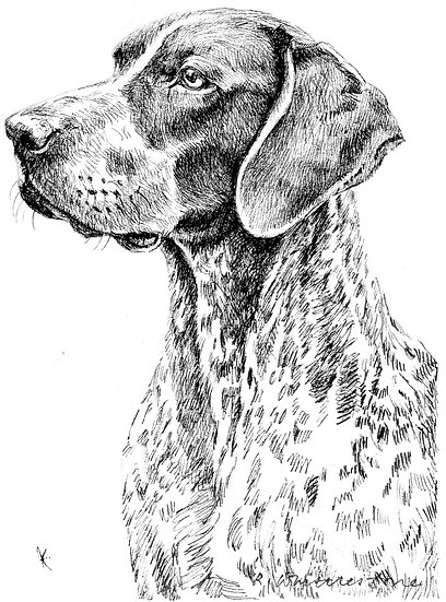 German Pointer Dog Drawing by Wildlife Artist Richard Whittlestone