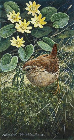 Nesting Wren Bird Print by Wildlife Artist Richard Whittlestone