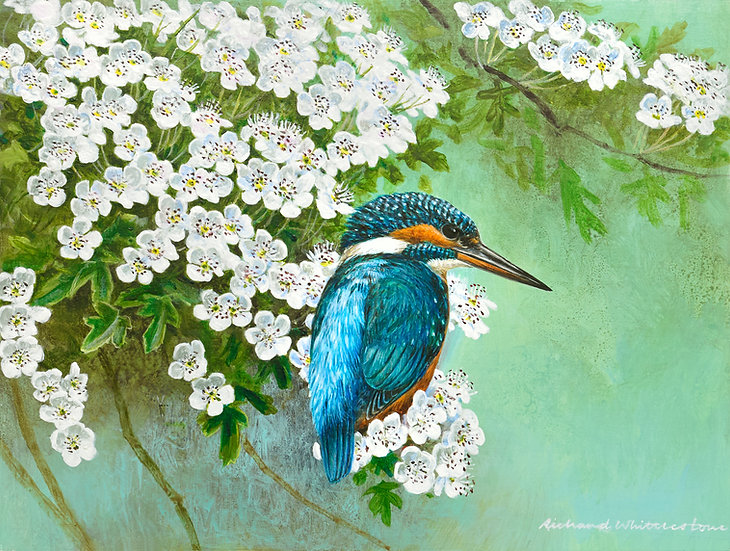 Kingfisher and Hawthorn Blossom