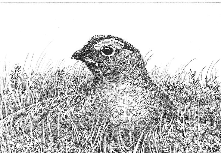 Red Grouse RW010PI