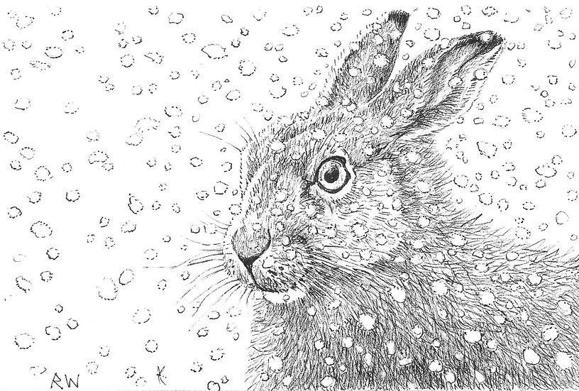 Snow Hare Drawing by Wildlife Artist Richard Whittlestone