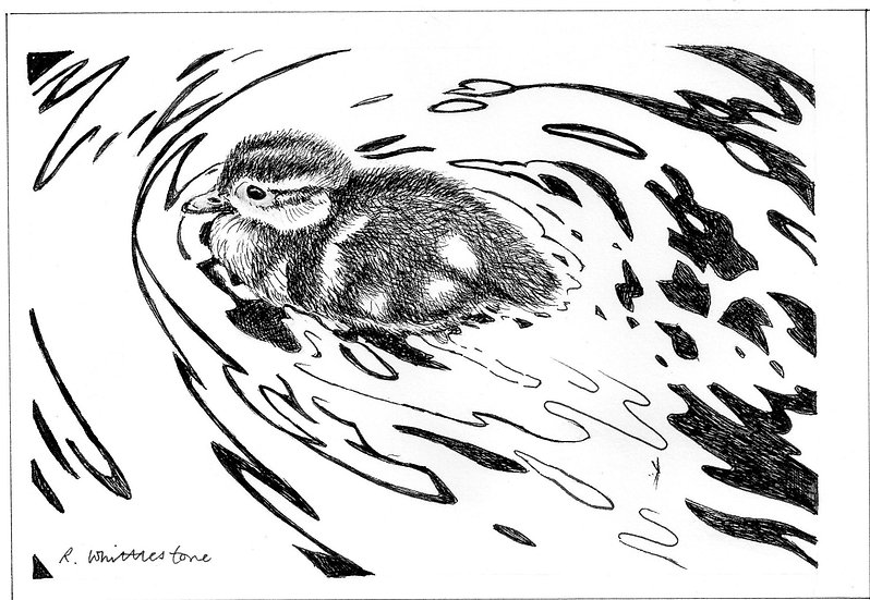 Duckling Bird Drawing by Wildlife Artist Richard Whittlestone