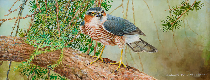 Sparrowhawk and Larches