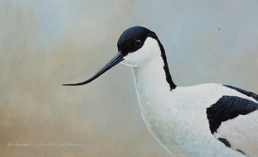 Avocet Portrait Bird Painting by Wildlife Artist Richard Whittlestone