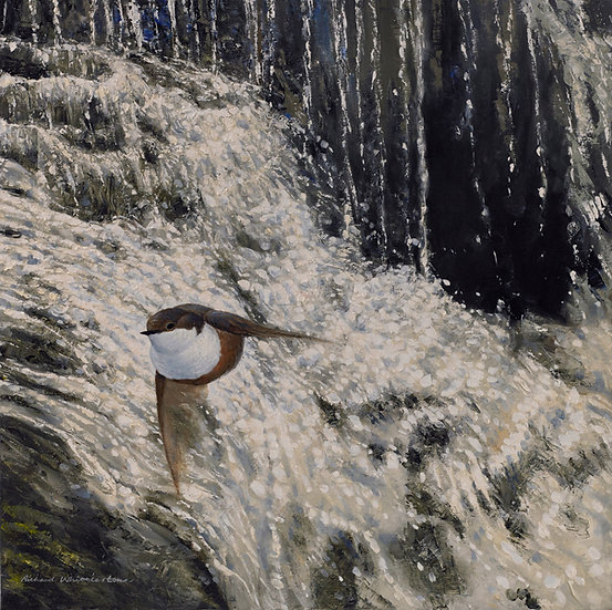 Dipper Cascading Water Bird Print by Wildlife Artist Richard Whittlestone