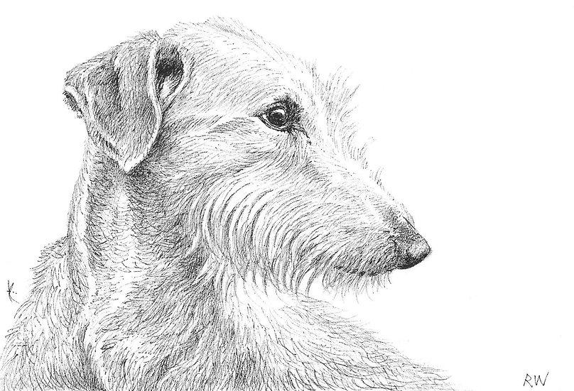 Lurcher Drawing by Wildlife Artist Richard Whittlestone