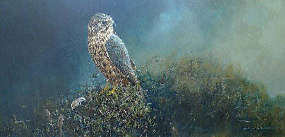 Red Merlin Bird Print by Wildlife Artist Richard Whittlestone