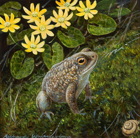 Toad Celandines Print by Wildlife Artist Richard Whittlestone