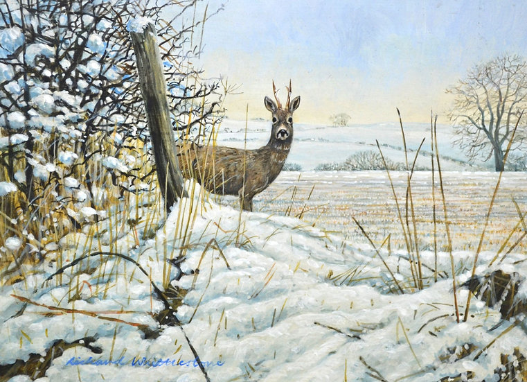 Roe Buck Winter Deer Print by Wildlife Artist Richard Whittlestone