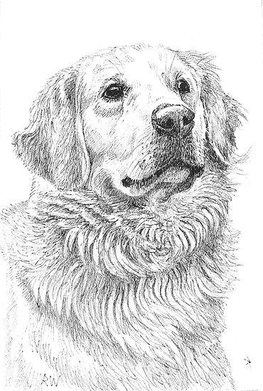 Golden Retriever Drawing by Wildlife Artist Richard Whittlestone