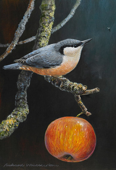 November Nuthatch Bird Painting by Wildlife Artist Richard Whittlestone