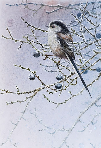 Frosty Long-tailed Tit 01C