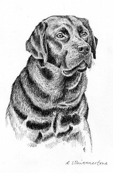 Black Labrador Drawing by Wildlife Artist Richard Whittlestone