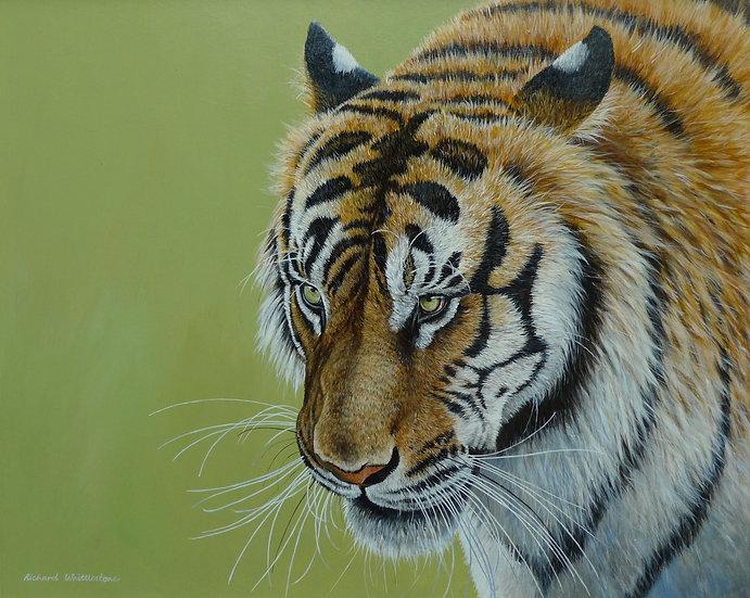 Tiger Portrait Print by Wildlife Artist Richard Whittlestone