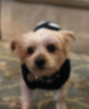 Picture of Lily, our little Yorkshire Terrier