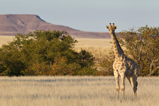 Namibian Giraffe