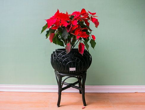 MINI ALON W/ STAND BLACK X POINSETTIA