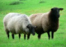 sheep-3173_640.jpg
