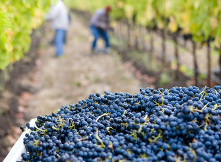 Preparing for What's Ahead: The Case of Sonoma County Winegrowers