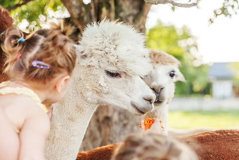 Cute alpaca with funny face relaxing on