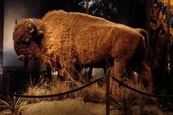 Büffel im Museum of Westw. Expansion