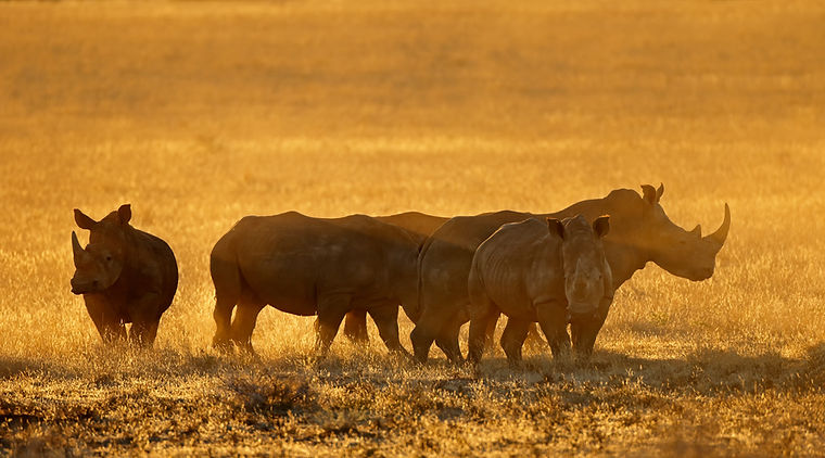 group-of-white-rhinoceros-ceratotherium-simum-in-dust-at-sunset-south-africa_t20_LzVlYY.jp