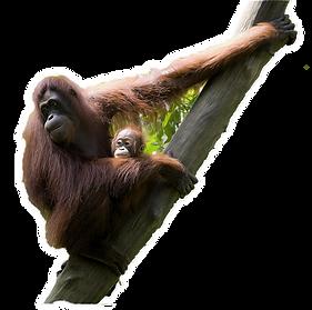GN_Orangutan_png (2).png