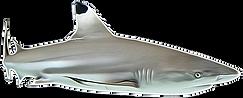 GN_blacktip-reef-shark_png (2b).png