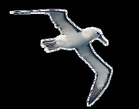 GN_albatross2_png.png