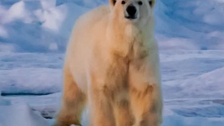 Ma première rencontre avec un ours polaire