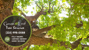 Caring for Your Louisiana Oak Trees