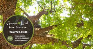 Oak-tree-pruning
