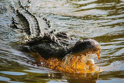 Louisiana Aligator in Bayou