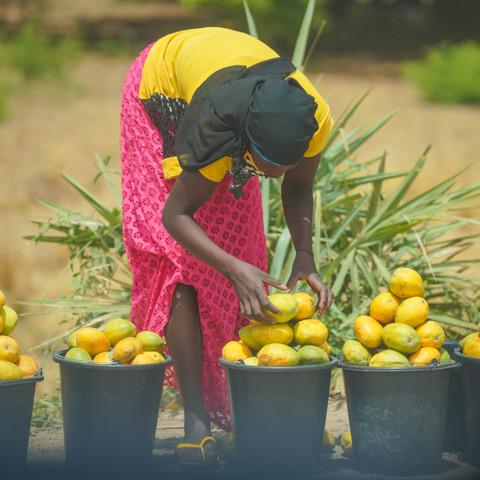 DSC04131 girl picking mangos.jpg