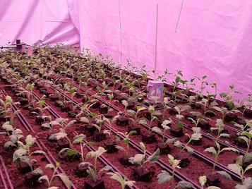 LED Lighting In Chrysanthemum