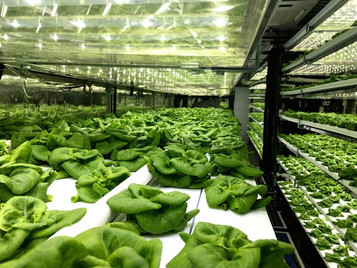 Southwest High School Students Hope To Grow Enough Lettuce To Feed School With Indoor Farming