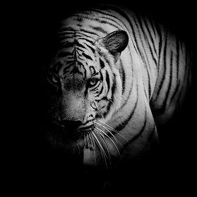 white-tiger-.jpg