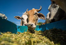 Cow Corn Silage.jpg