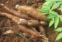 Cassava Root.jpg