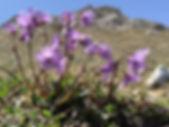 Soldanella Bernina Trekking