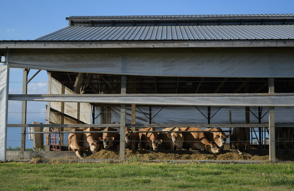 Cows line up in a compost bedded pack barn that houses the milking robot on Tuesday, April 20, 2021. This barn and milker are visible on the farm tours that Chaney's offers.