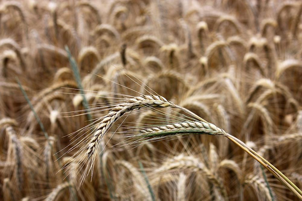 Wholegrain rye health benefits