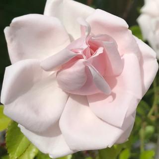 Blushl-Rose-Bleeding-Heart-Flower-Farm