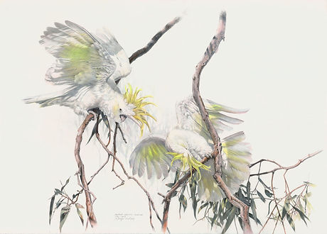 Two Sulphur Crested Cockatoos.jpg